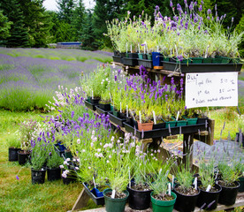 Lavender plants for sale
