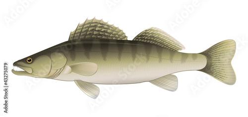 Zander (Sander lucioperca) Freshwater Fish