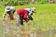 rice seedling transplanting.