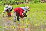 rice seedling transplanting. poster