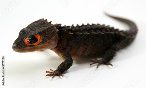 Fototapeten Krokodile Red-Eyed Crocodile Skink