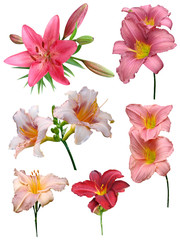Lily flowers collection on a white background, isolated