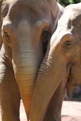 Asiatic Elephants (Elephas maximus)