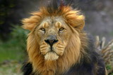 Portrait of a male lion (Panthera Leo)