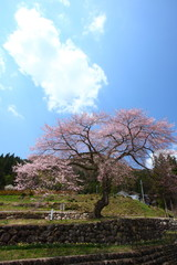 Zenbee Zakura in spring, Gifu, Japan