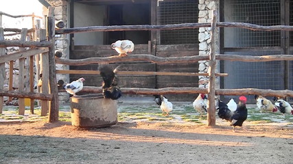 Chickens on the farm outdoor