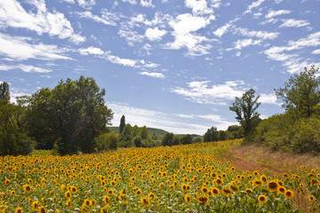 A field of sunflowers in the Tarn area of France.