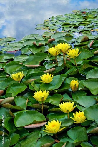 Yellow waterlilies in pond