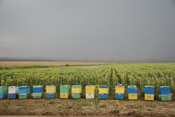 line of coloured beehives front of a sunflowers field