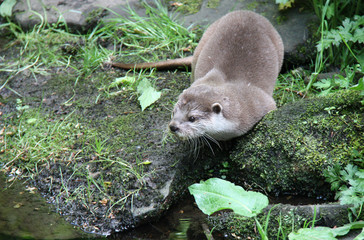 An Otter on the Rocky Bank of a Stream.