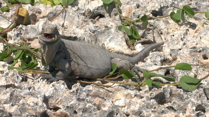 Cuban rock iguana (Cyclura nubila) in the wild, Cayo Largo