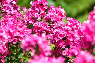 phlox flowers in bloom