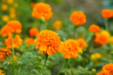 Saffron Marigold Used in the decoration of the garden.