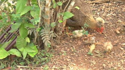 Chicken family, Cuba