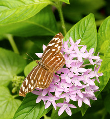 Female Mexican Bluewing on Pretty Flowers