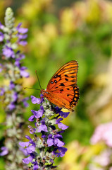 Gulf Fritillary on Purple Flowers
