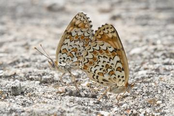 Mariposas apareandose sobre una piedra.