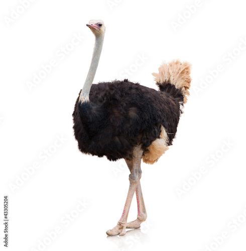 Portrait Of A Ostrich