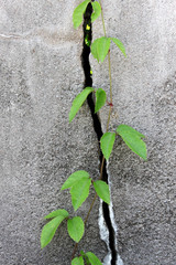 Wall crack with plants