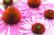 Sonnenhut (Echinacea purpurea) - Fläche aus Blüten