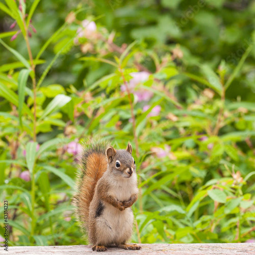 Curious cute American Red Squirrel posing watchful