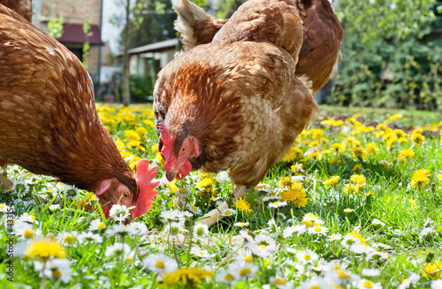 Foto op Canvas Kip poultry in field