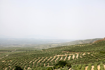 Olive fields all over