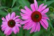 Sonnenhut (Echinacea) im Garten