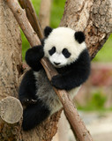 Fototapety Giant panda baby over the tree