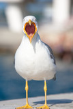 Seagull with beak opened