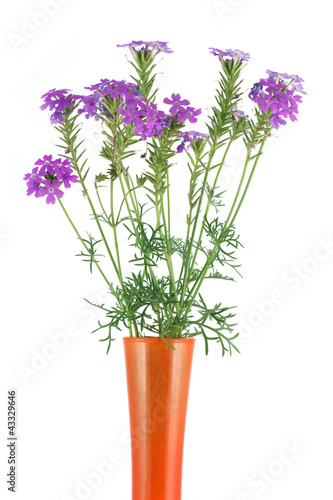 Verbena in a vase isolated on white