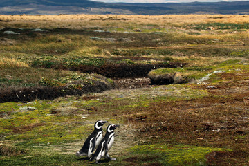Patagonian Penguin Pair Walking to the ocean