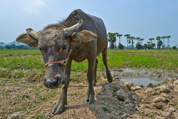buffalo in country farm of thailand