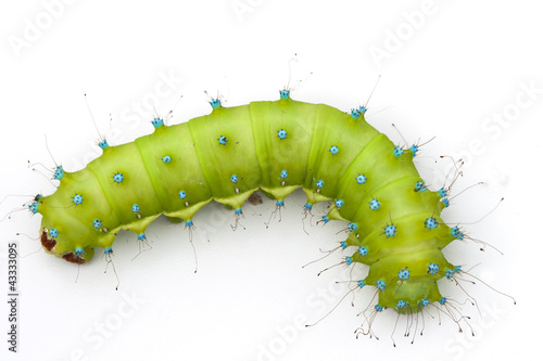 Huge emerald green caterpillar