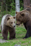 Brown bears in Tiago forest