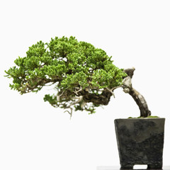 Bent bonsai tree