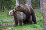 Brown bears mating in Tiaga forests