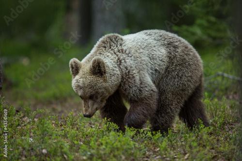 Niedźwiedź brunatny w Tiago lesie