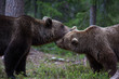 Brown bears showing affection