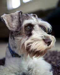 Close up of miniature schnauzer