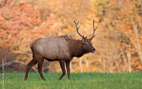Bull Elk in Autumn Sunlight