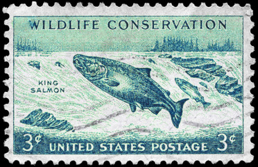 USA - CIRCA 1956 King Salmon
