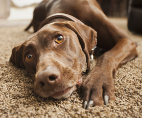 Close up of dog laying on floor