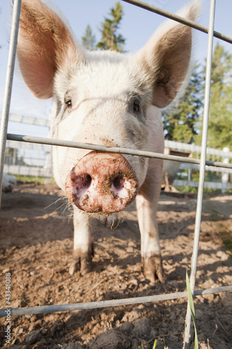 Close up of pig in pen