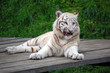 White Tiger Cub With Funny Muzzle Expression