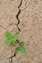 siccità_coltivazione di soia