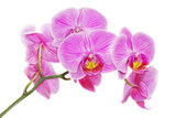 Fototapety Pink orchid on a white background