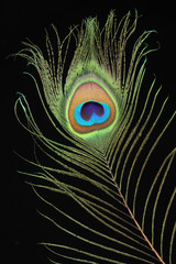Closeup of peacock feather on black background