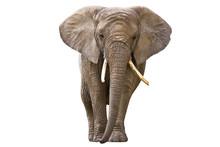 """Постер, картина, фотообои """"Elephant isolated on white"""""""