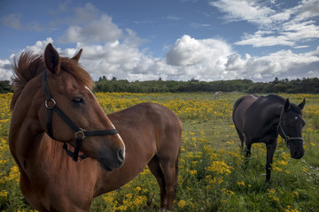 Horses on a Danish field